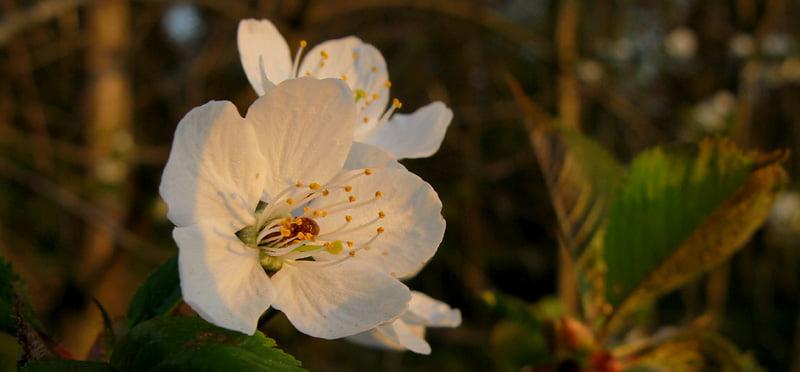 Körsbärsblomma