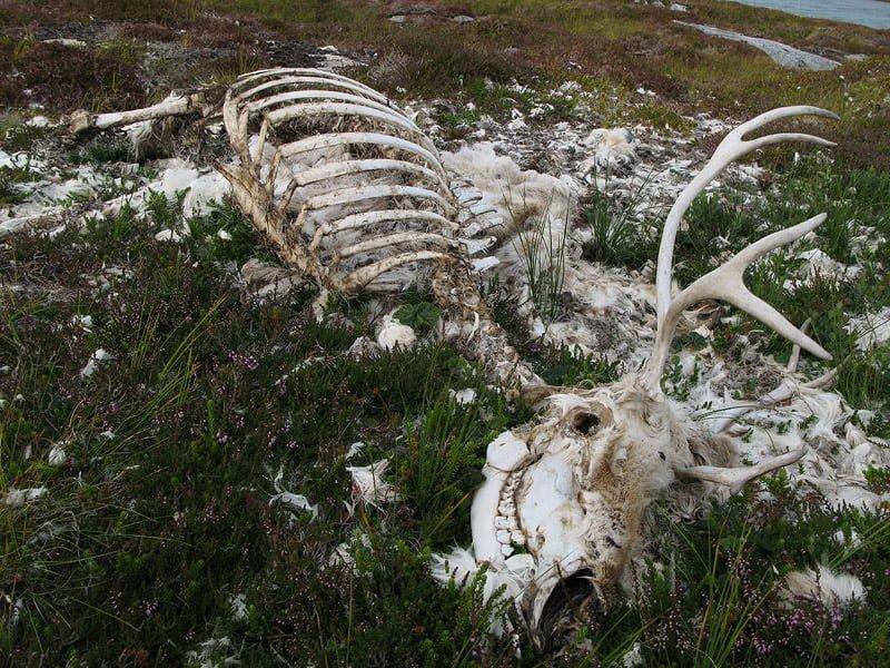 En av renarna på Kvitmåsøya