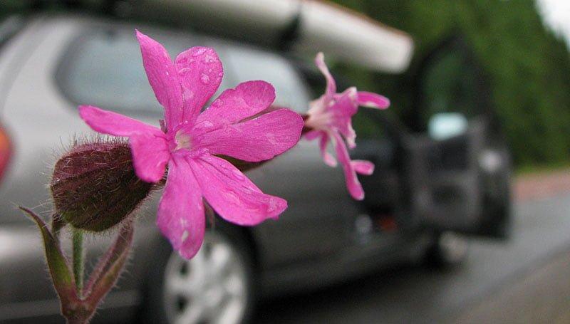 blommor längs vägen
