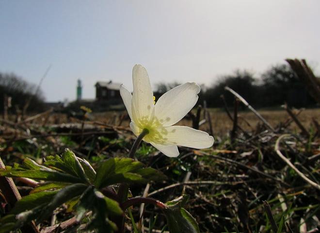 Vitsipporna började blomma i helgen. Blev fler och fler för varje dag