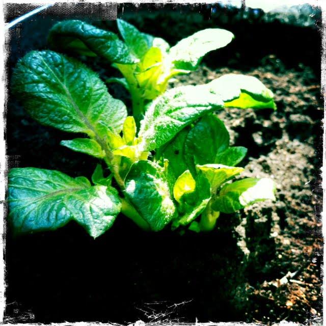 Första potatisbladen på väg upp