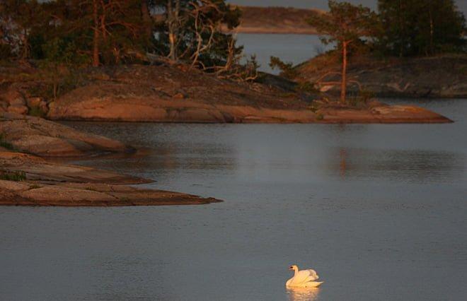 En svan gottar sig i solen innan solstrålarna gömmer sig för dagen