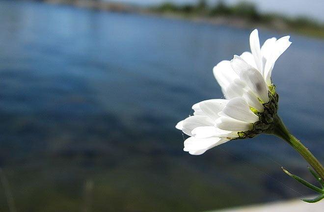 Fler blommor