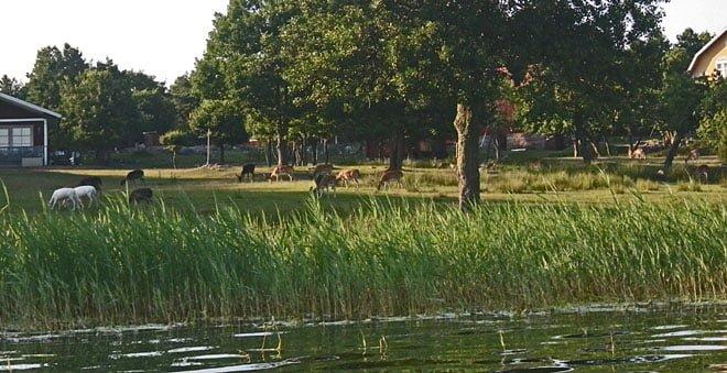 Några av hjortarna på Hunö