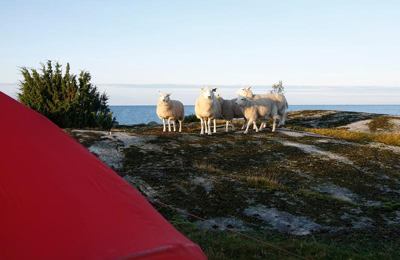 Morgonfår som verkade skeptiska till besökarna på deras ö ;)