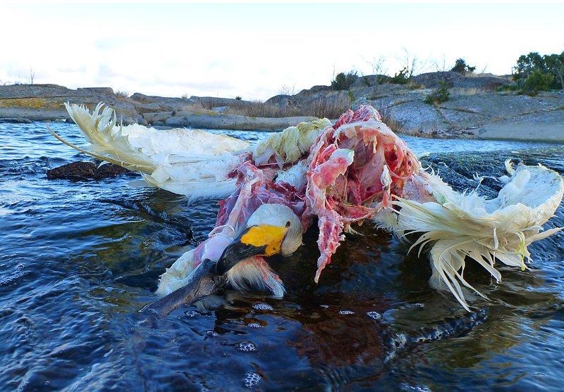 Svan som blivit havsörnsmat