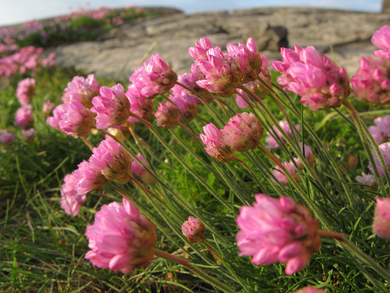 Blommande Trift i skärgården