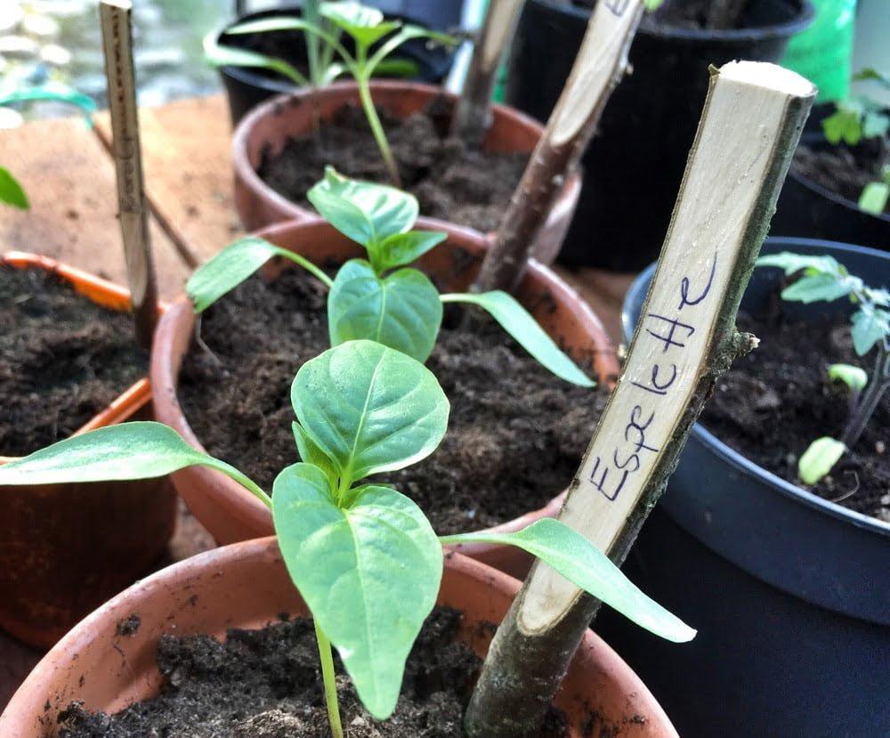 Planteringspinnar av hassel