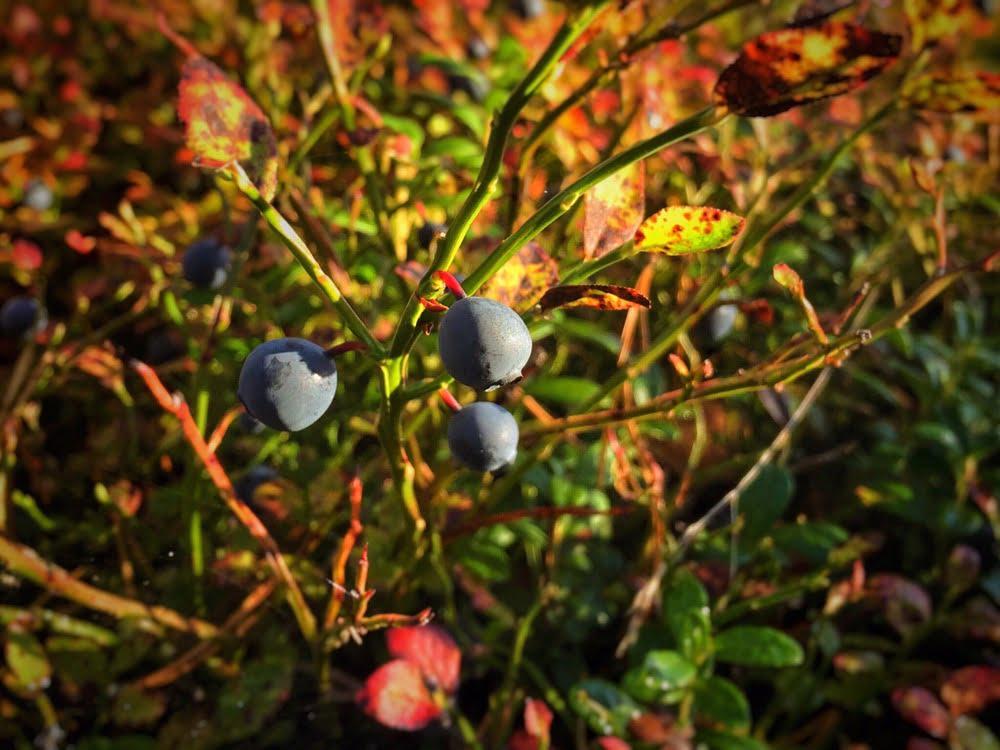 Jättestora blåbär, smaskens