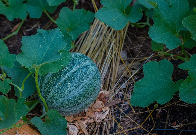 Melon - våra första är på gång