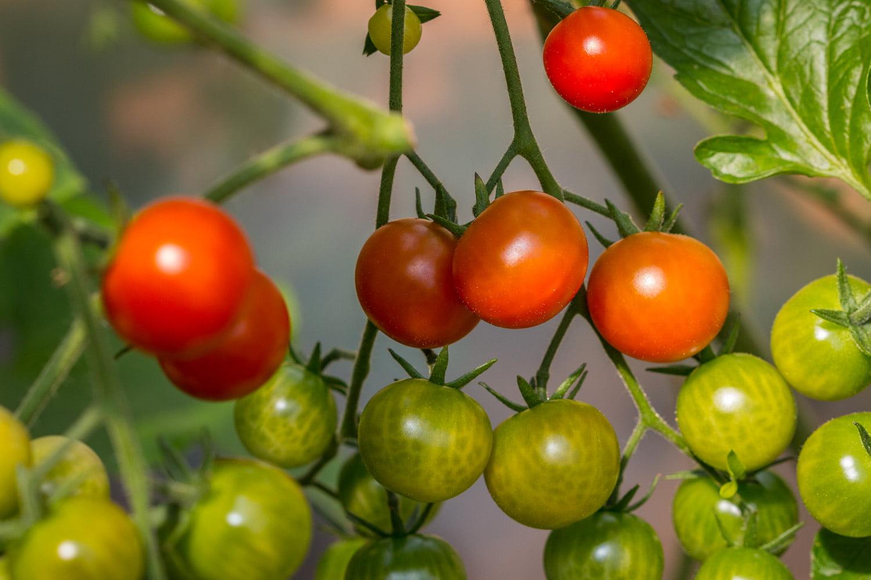 Tomater har vi ganska gott om i olika storlekar och mogningsgrad